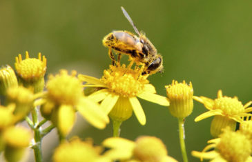 Bee in Ecosystem and Biodiversity